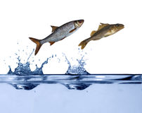 Two small fishes jumping. Two small fishes are jumping above blue water Royalty Free Stock Photography