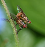Two small flies mating in garden Stock Photo