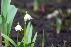 Two small flowers of a snowdrop Stock Images