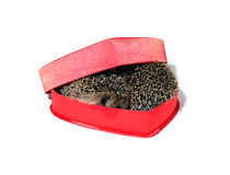 Two small forest hedgehogs in a red gift box in heart shape Stock Images