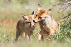 Two small foxes. Two small, friendly and playful foxes in a field Stock Images