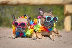 Two small French Bulldog dogs sunbathing on sand in summer wearing colorful sunglasses and tropical flower garlands