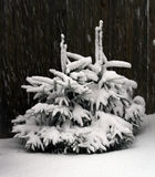 Two small fur-trees. During a snowfall Stock Photo