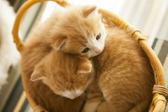 Two small ginger kitten in the basket in home.  Stock Photo
