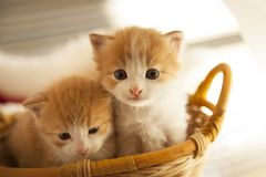 Two small ginger kitten in the basket in home.  Royalty Free Stock Photography