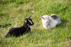 Two small goat lying on green grass Stock Image