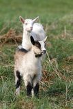 Two small goats Stock Photo