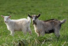 Two small goats Royalty Free Stock Photography