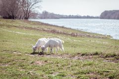 Two small goats graze on the field. Near the river. Clear sky. royalty free stock image