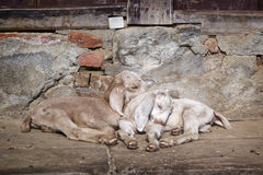Two small goats are sleeping on the street in Kathmandu, Nepal Royalty Free Stock Photography
