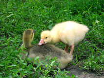 Two small gooses on a green grass Royalty Free Stock Photos