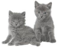 Two small gray kitten sitting Stock Photo