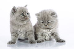 Two small gray kittens. Two gorgeous gray kittens sitting side by side on a white background Stock Photo
