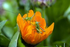 Two small green grasshoppers inside orange flower Stock Photo