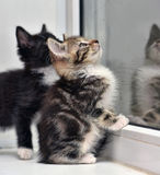 Two small kitten together Stock Photos