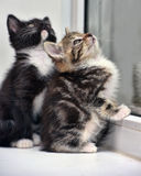 Two small kitten together Stock Images