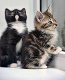 Two small kitten together Stock Photo