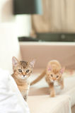 Two small kittens. Two small tabby cats or kittens Stock Images