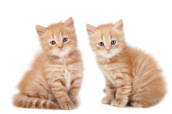 Two small kittens looking Royalty Free Stock Images