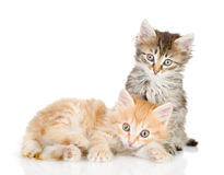 Two small kittens looking at camera. Royalty Free Stock Image