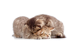 Two small kittens playing together Stock Images