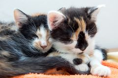 Two small kittens sleeping together Royalty Free Stock Photo