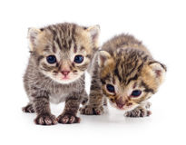 Two small kittens Royalty Free Stock Images