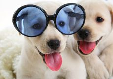 Two small Labrador Stock Image