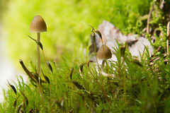 Two small lamellar Mushrooms on a green moss in a lite forest Stock Image