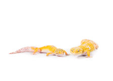 Two Small Leopard Geckos. Two leopard geckos on a white background stock photography