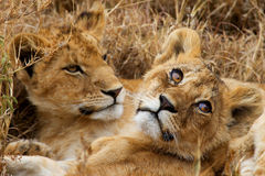Two small lions Stock Photography