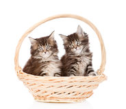 Two small maine coon cats sitting in basket. isolated on white Royalty Free Stock Photos
