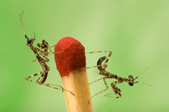 Two small mantises and match close-up on green bac Stock Image