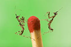 Two small mantiss close-up Royalty Free Stock Photography
