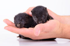 Two small mink Stock Photography