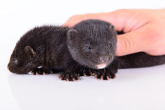 Two small mink Stock Photos