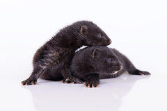 Two small mink Stock Image