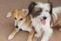 Two small mixed breed puppies sitting together Royalty Free Stock Images
