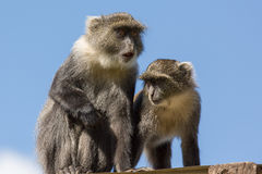 Two small monkey on the roof Royalty Free Stock Image