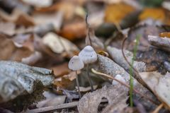 Two small mushrooms among autumn foliage stock photography