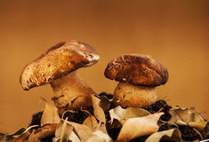 Two small mushrooms Stock Images