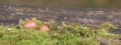 Two small mushrooms stock image