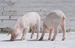 Two small pigs Royalty Free Stock Images