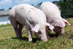 Two small pigs eating fresh green grass on the meadow Stock Photography