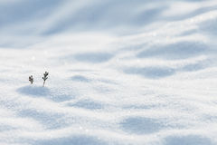 Two small pine sprouts on a winter field Royalty Free Stock Images