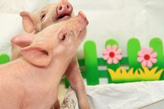 Two Piglets. Two Small Pink Piglets Playing in Studio stock photo