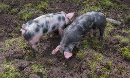 Two small Piétrain pigs rooting in the mud Royalty Free Stock Photography