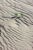 Two small plants in sand. Royalty Free Stock Photo