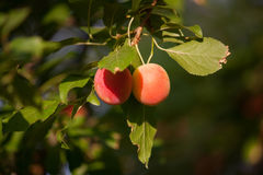 Two small plums hanging Stock Photos