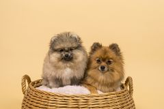 Two small Pomeranian puppies sitting in a basket with a beige background royalty free stock photography